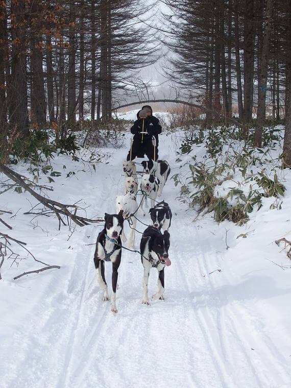 十勝鹿追町「狗拉雪橇」體驗