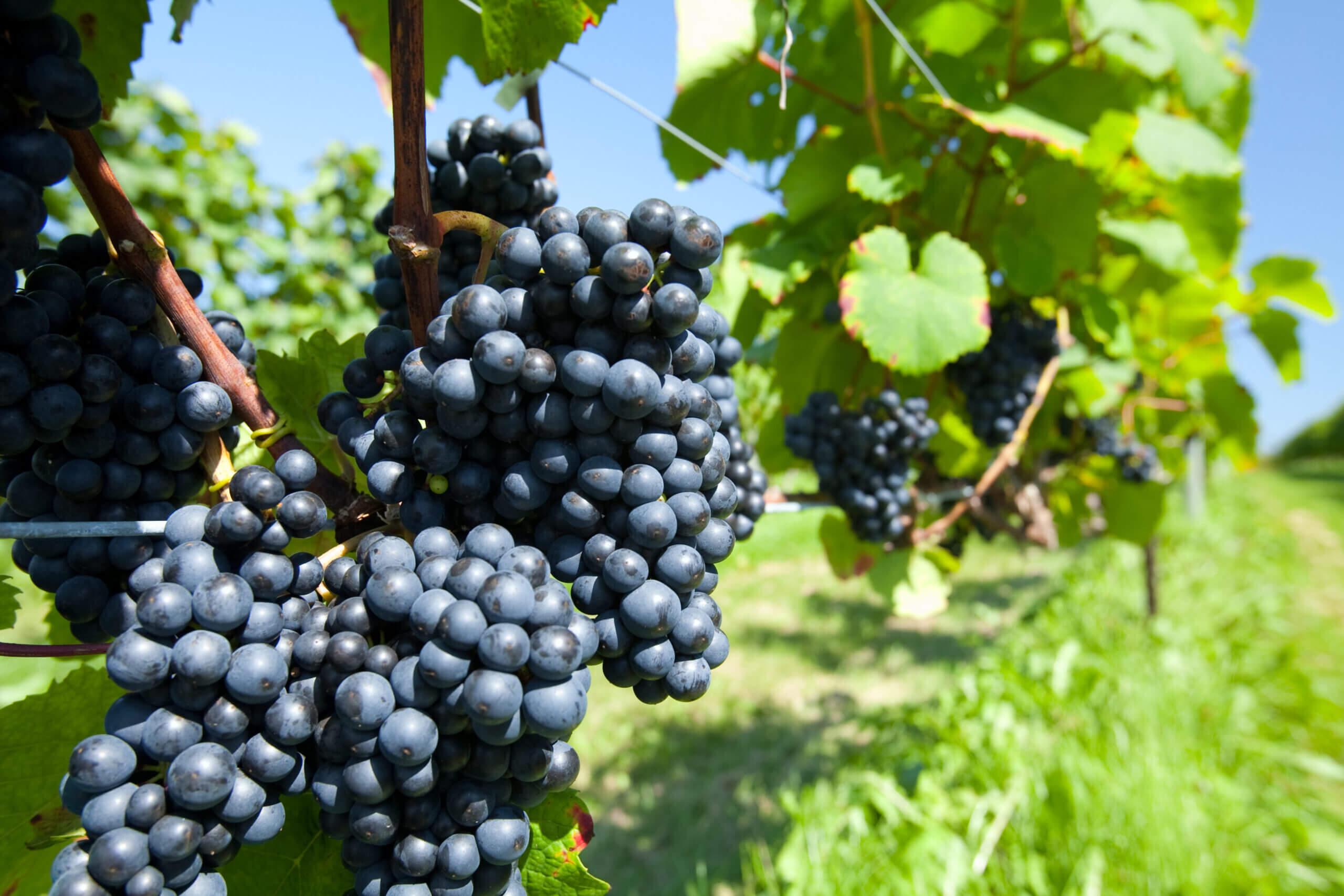 三笠市葡萄酒莊野餐