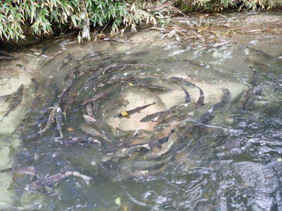 探訪鮭魚的故鄉!登別川生態之旅