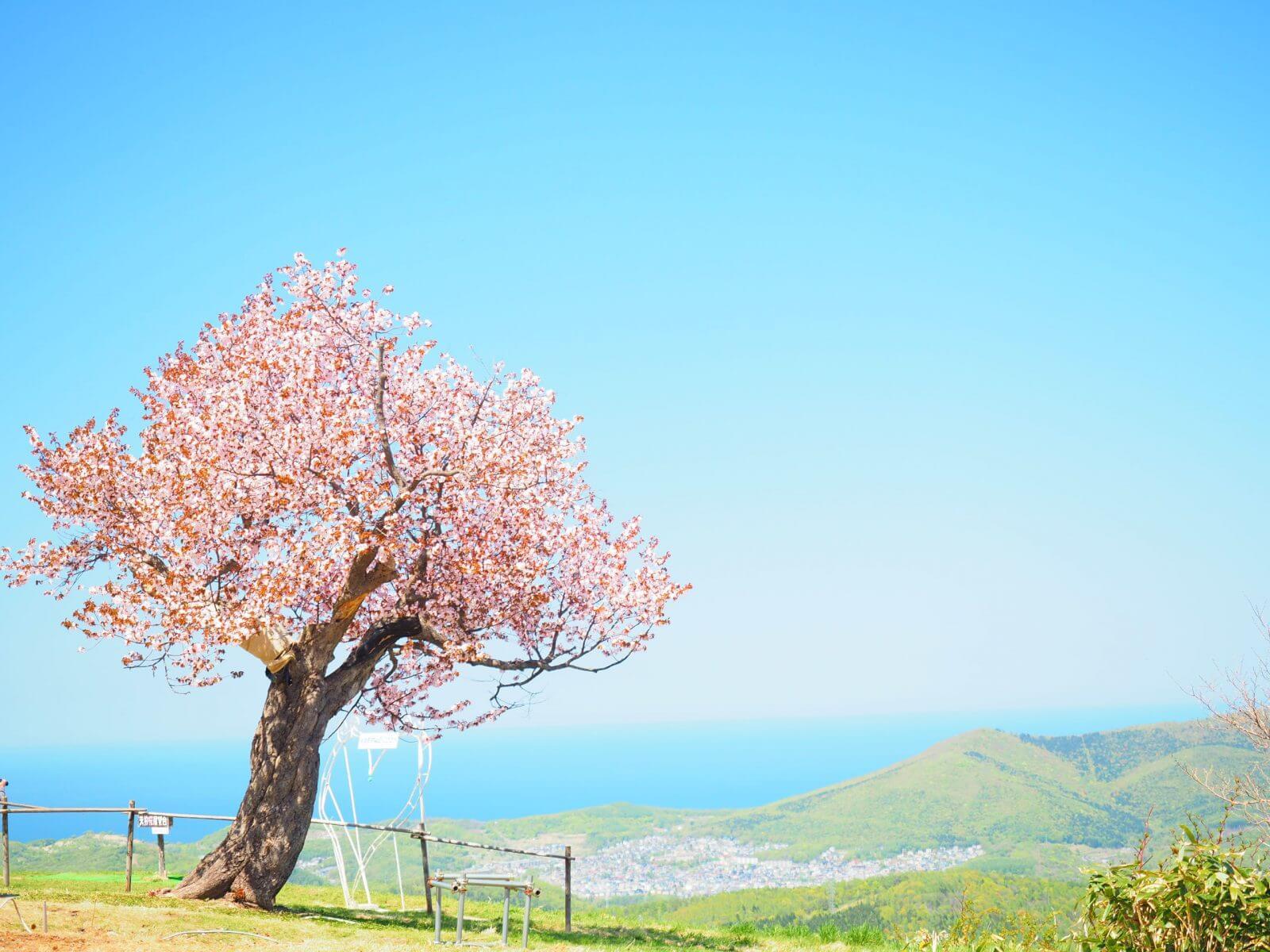 天狗山櫻花:心形櫻花與粉紅色花海