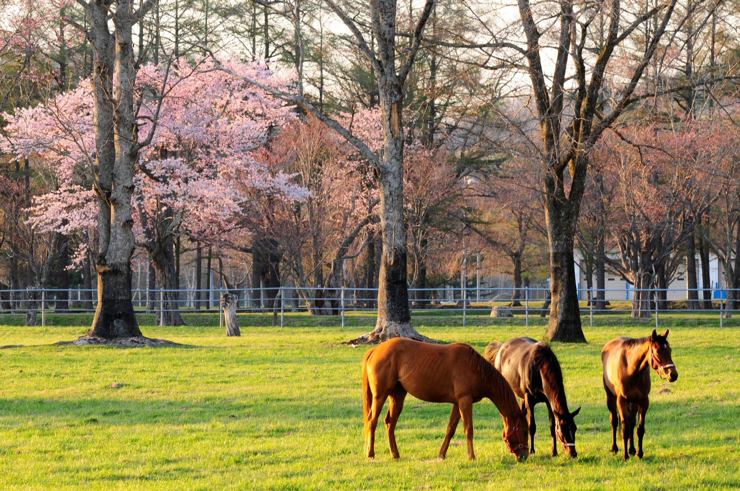 日本最大的賽馬培育和訓練中心「JRA日高育成牧場」