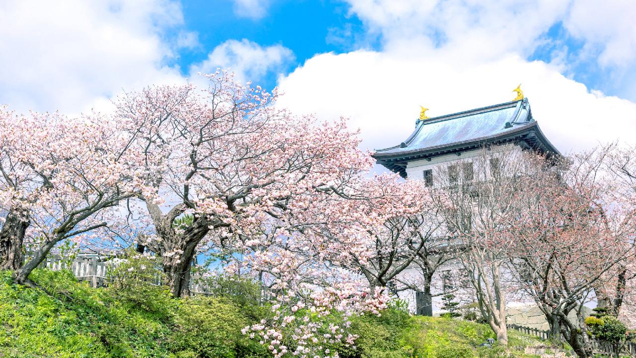 松前城與萬株櫻花的爭相競演「松前櫻花祭」