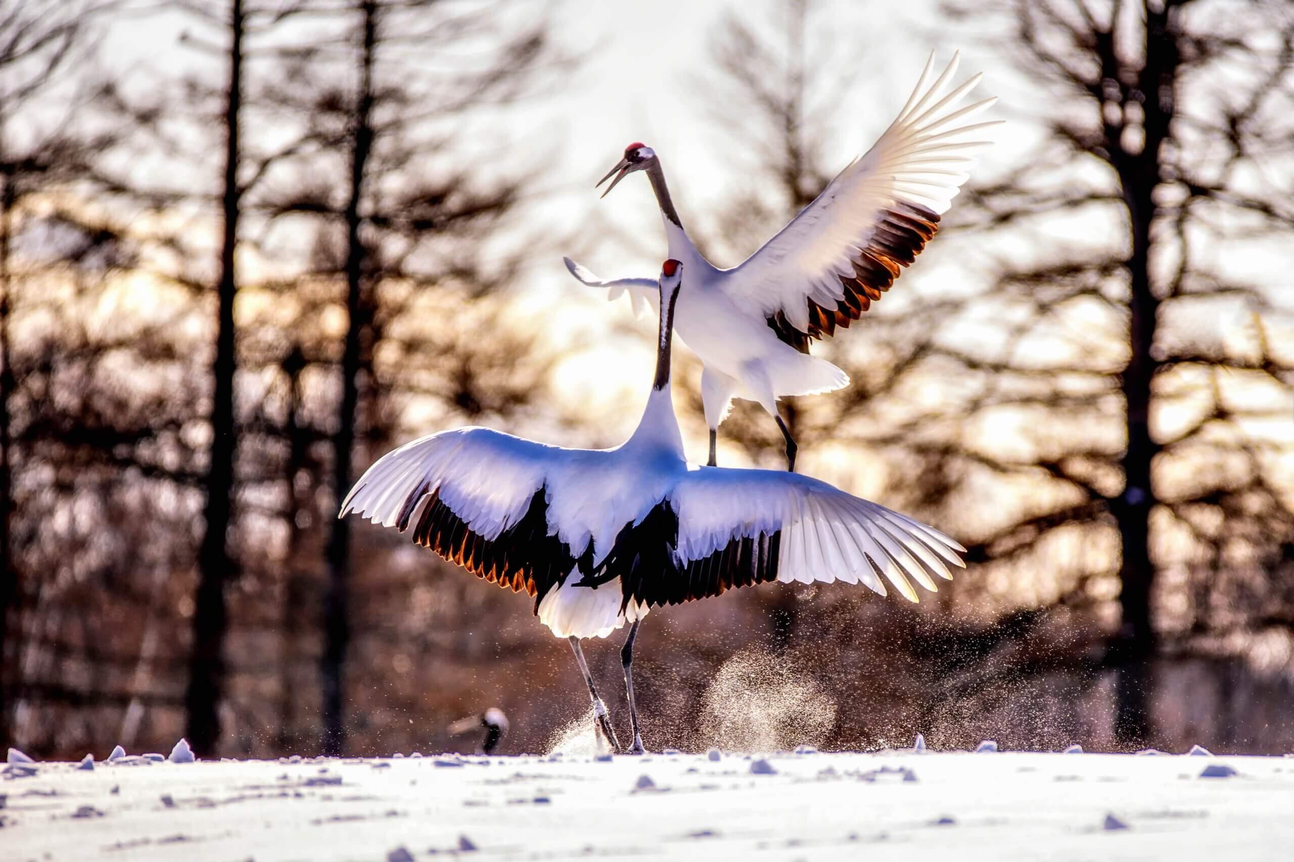 北海道最大的丹頂鶴避冬地「鶴居・伊藤丹頂鶴自然保護區」
