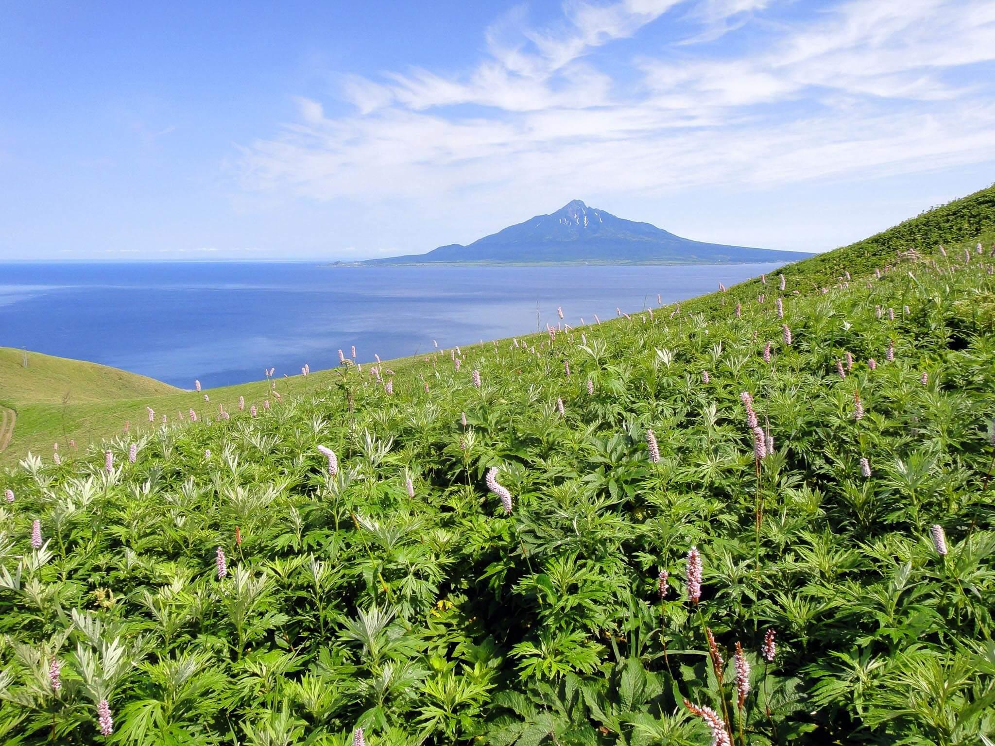 稀有高山植物盛開的花之浮島「禮文島」
