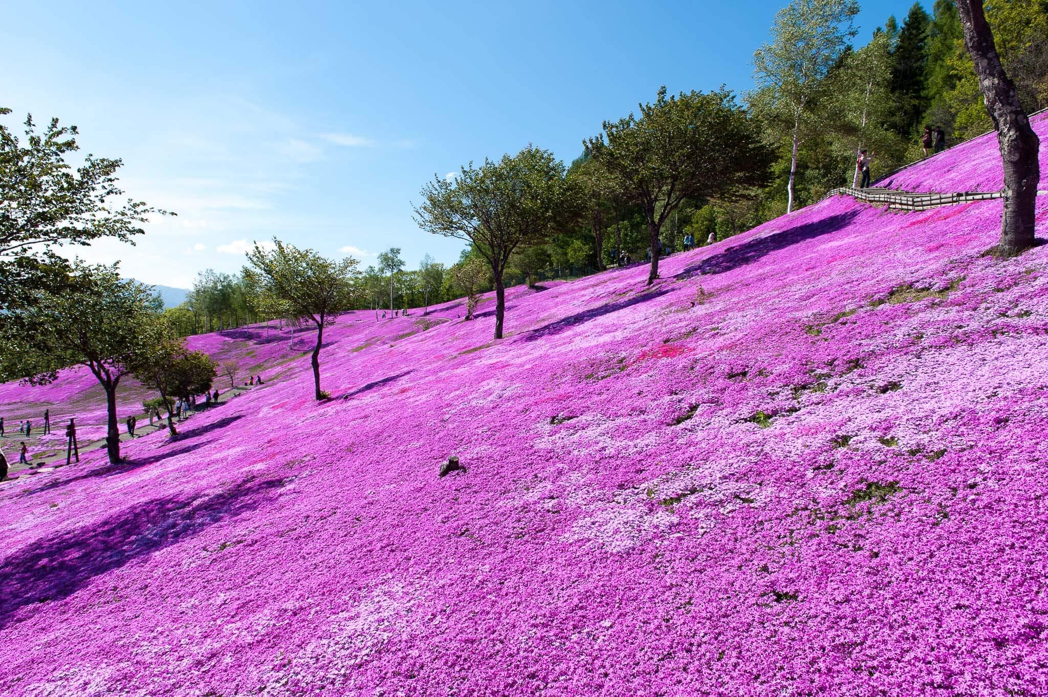 夢幻的粉紅山丘「芝櫻瀧上公園」