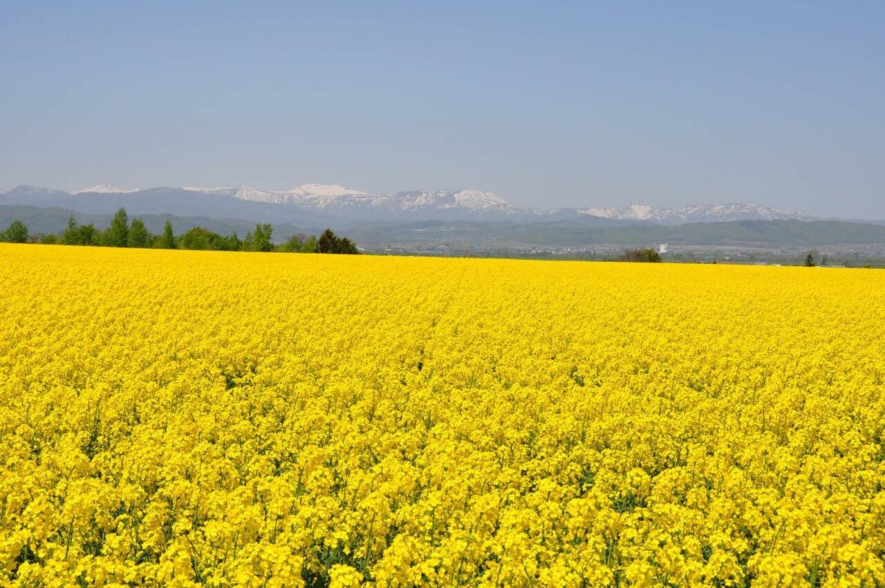 春季最美麗的黃色地毯「瀧川・油菜花田」