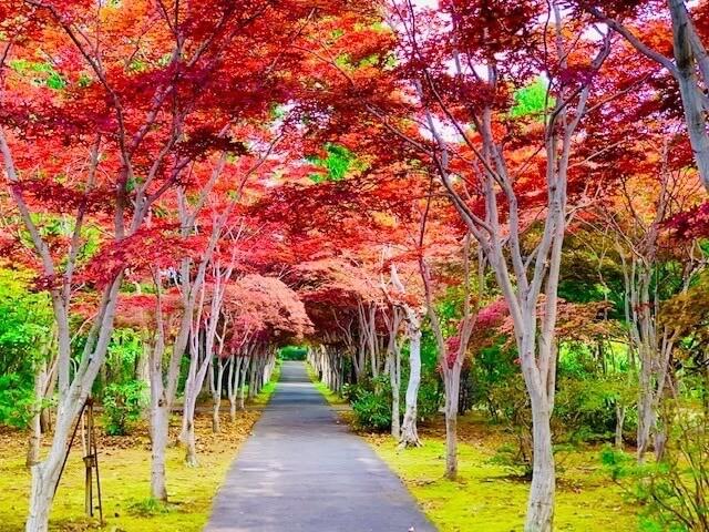 知名的紅葉隧道景觀「平岡樹藝中心」