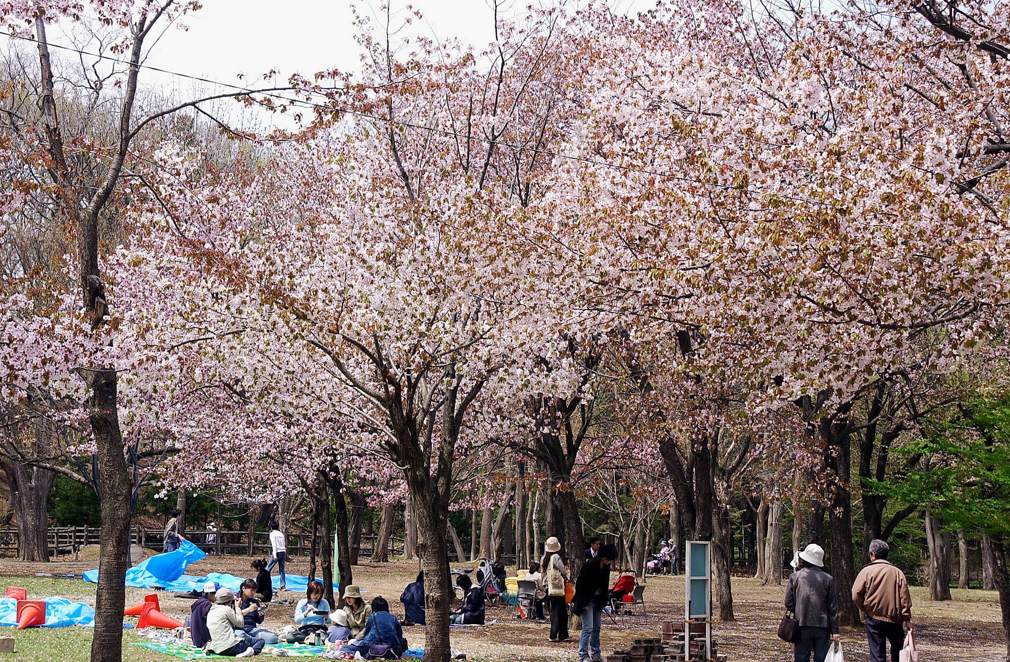 北海道著名的賞櫻勝地:圓山公園