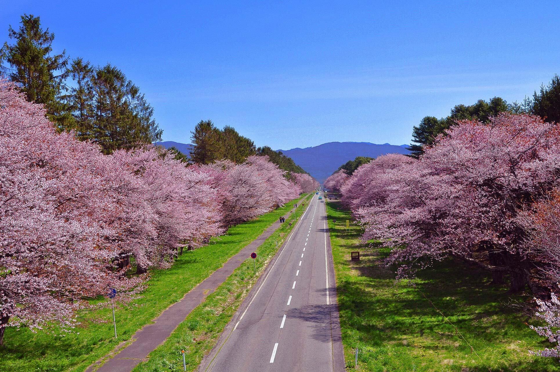 美到令人屏息!二十間道路櫻花林蔭大道