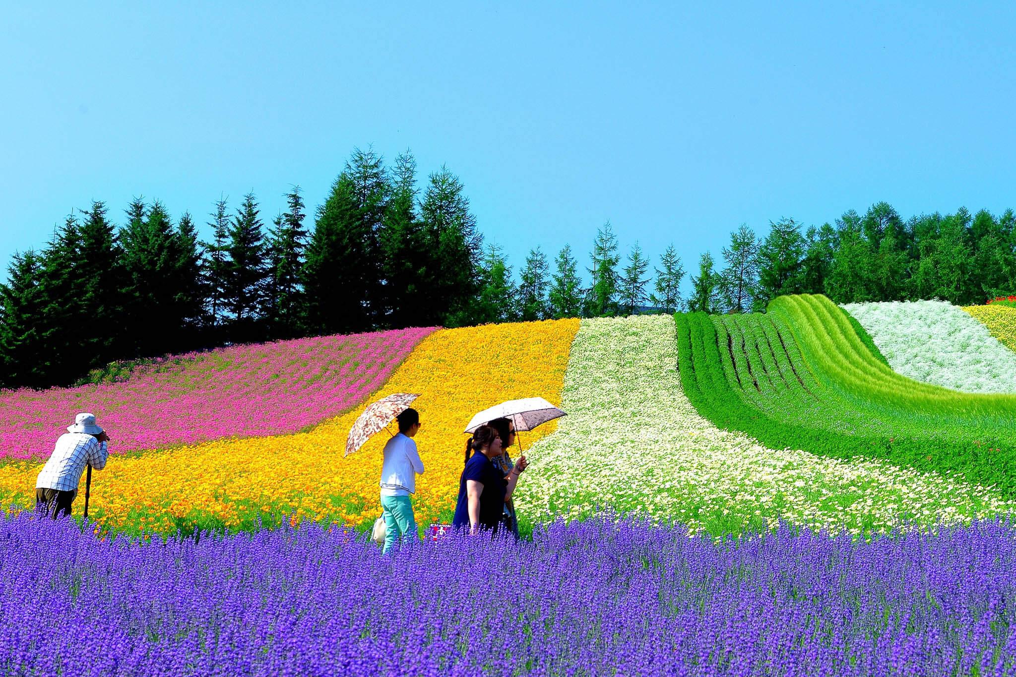 夏季賞薰衣草的定番景點:富田農場