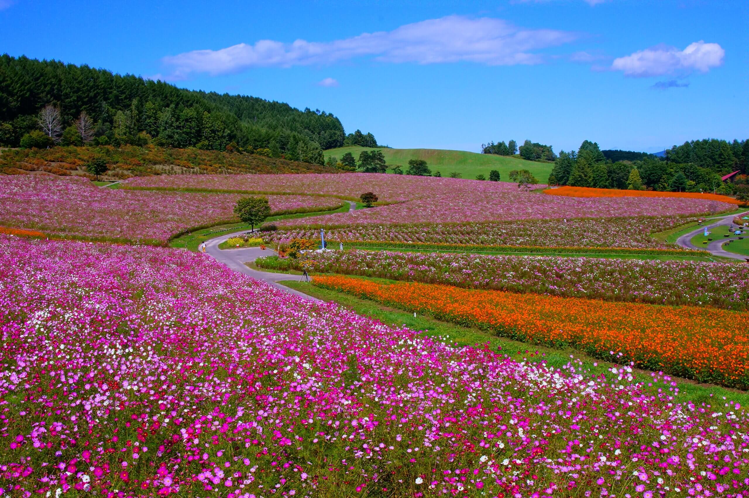 太陽之丘 遠輕公園:日本最大規模的波斯菊花園