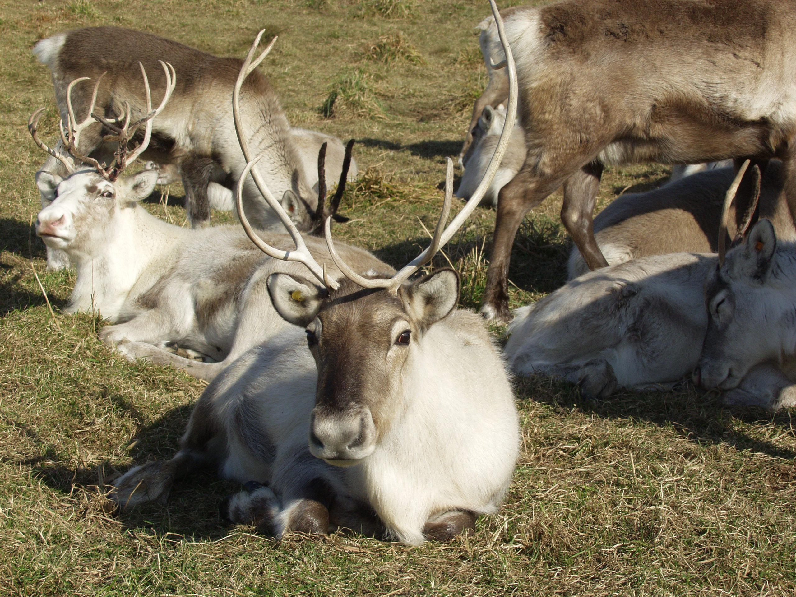 幌延馴鹿觀光牧場:免費參觀!能夠與50頭馴鹿互動的超稀有牧場