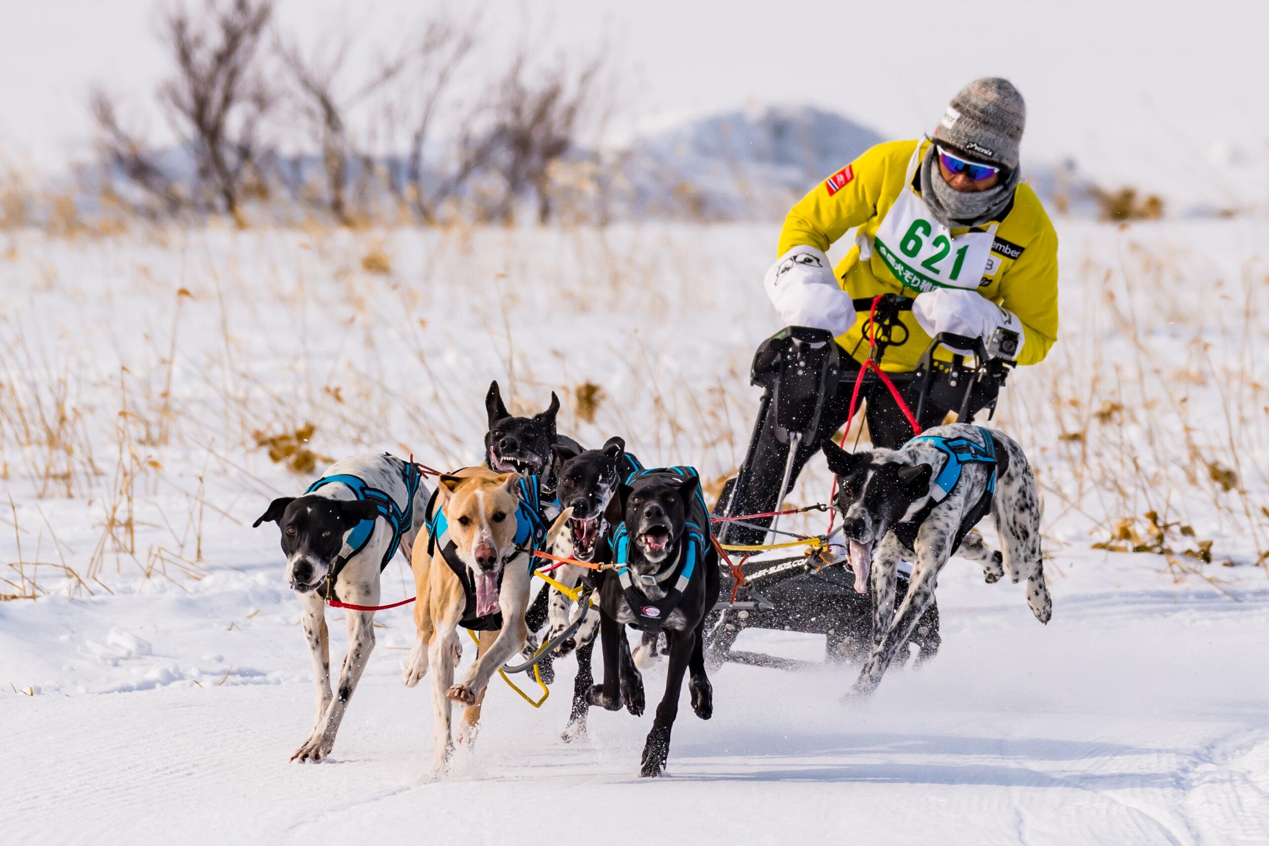 全國雪橇犬稚內大會:愛狗人士必訪!北方國家特有的冬季活動
