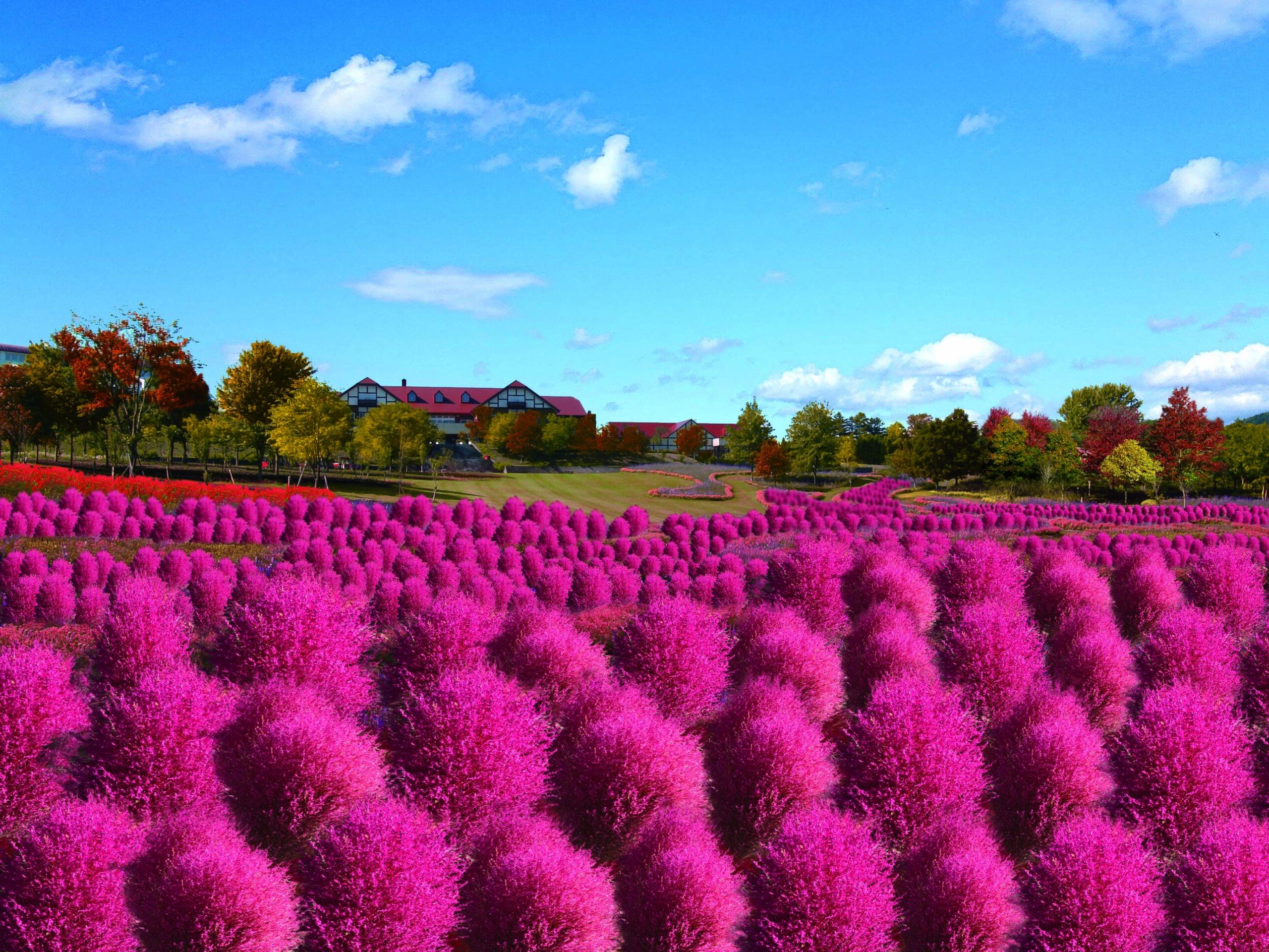 北海道最大級:遍布山丘的掃帚草(コキア)夢幻美景