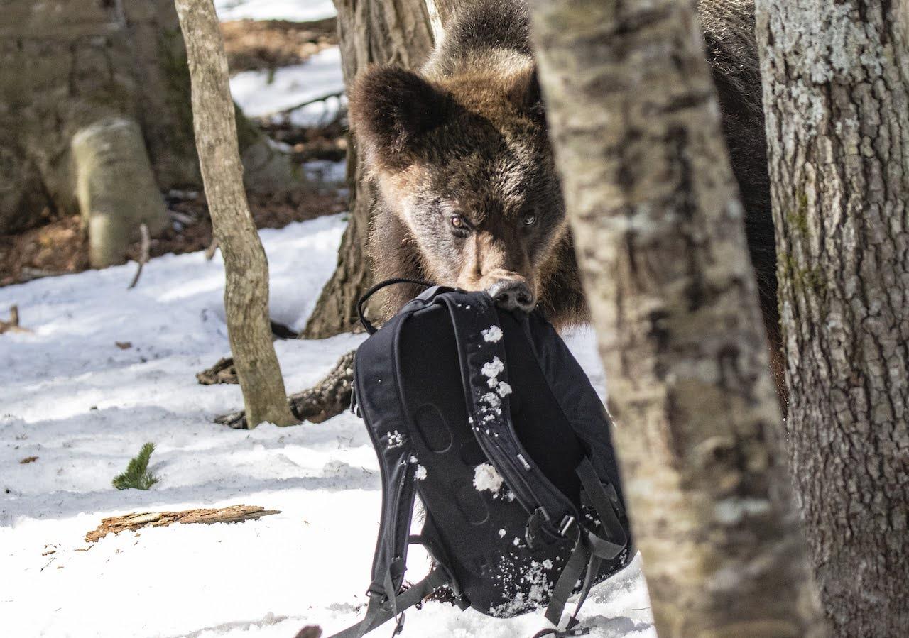 岸本先生裝著攝影器材的背包被熊咬住的瞬間。Ⓒ岸本日出雄