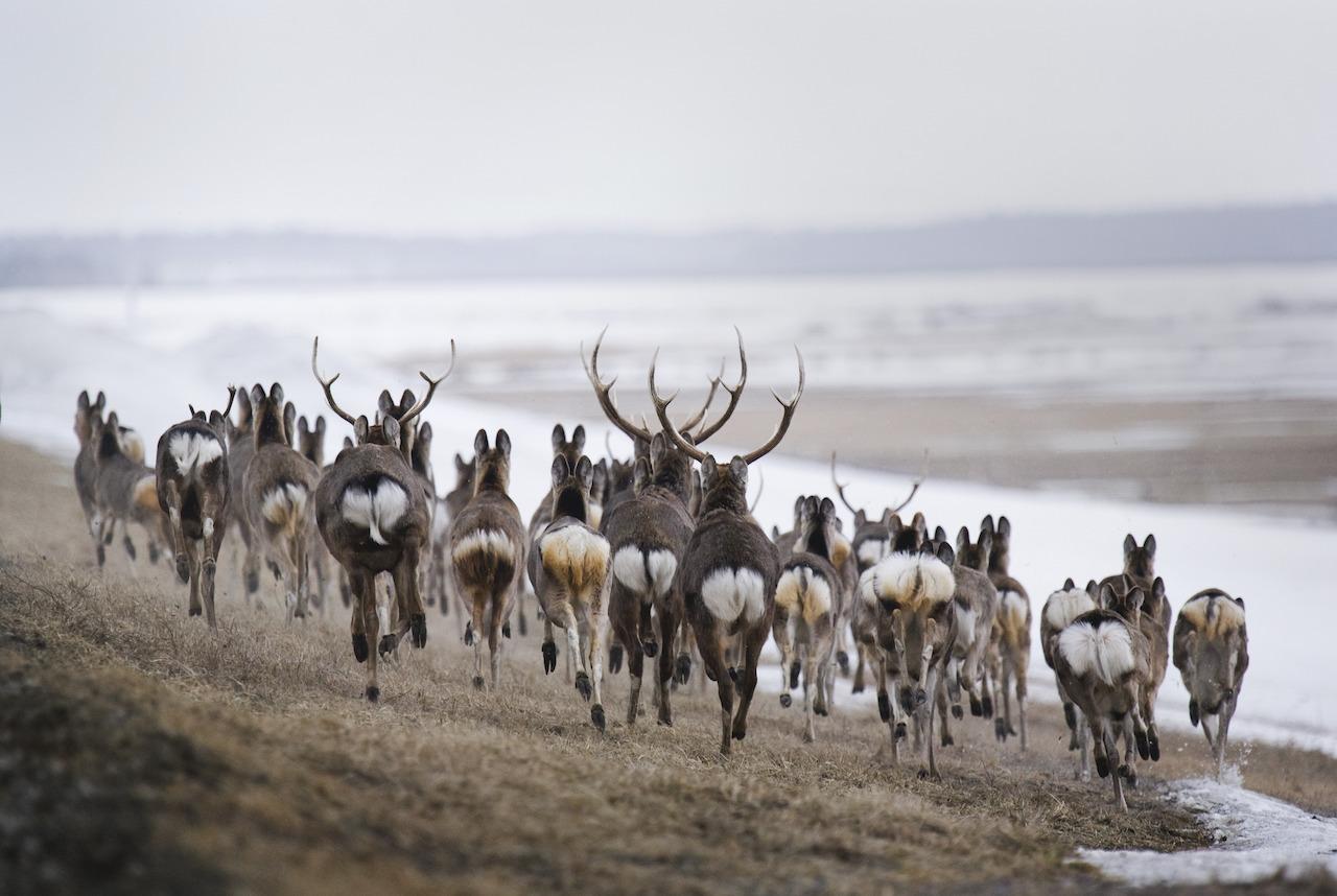 3月某一天的午後,拍攝於流經北海道北部天鹽川附近的蝦夷鹿群。Ⓒ岸本日出雄