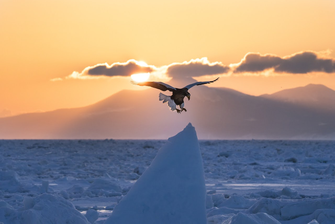 每年冬季定期舉辦,從羅臼港啟航的賞鳥遊船行程。岸本先生於2月左右參加,拍攝到虎頭海鵰準備降落在流冰冰塊上的瞬間。Ⓒ岸本日出雄
